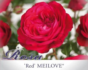 rosa-red-meilove